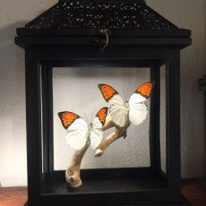 Orange-Tip Butterfly Lantern