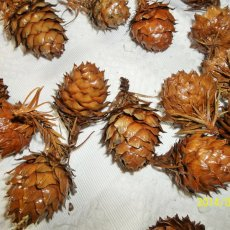 NW Pinecones, Hand Selected, Cleaned and Sealed With Spar Urethane